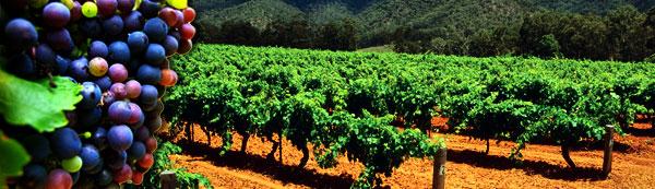 vineyard_banner